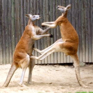 Red kangaroos naturally box. (WIKI image)