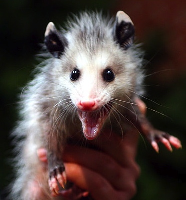 Smiling Possum Surprised young possum (image: