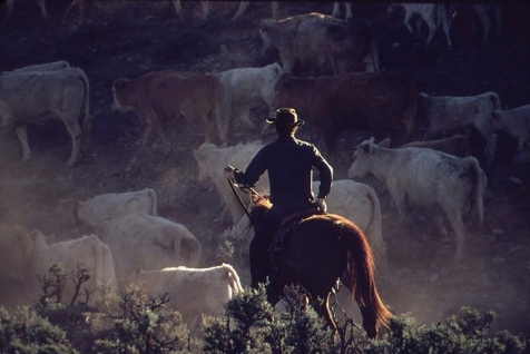 Cattle drive (1932. Bill Gillette. US Public domain/National Archives/commons.wikimedia.org)