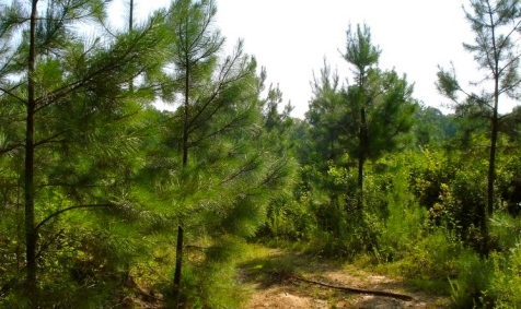 5 yr old loblolly pines. (Image-John A Matel:commons.wikimedia.org)