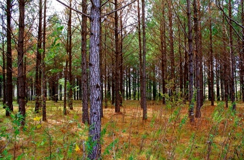Loblolly pines. (Image- Jeffrey Reed:commons.wikimedia.org)
