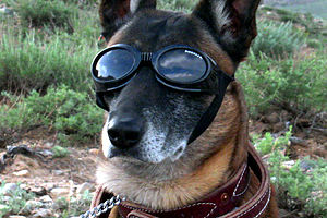 Listen guys, I'm a little busy over here, but hope you can help this veteran. It would mean a lot to all of us - gives us combat dogs the hope that won't just be tossed aside either.(Combat German Shepherd in doggles.)