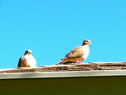 Smart doves don't sit shilotetted against the sky