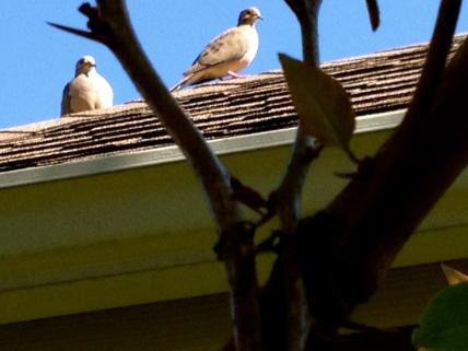 Dove groupies