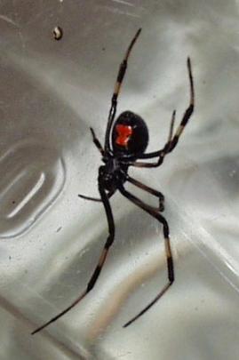 Black widow spider. P.E.Moran/Commons.wikimedia.com