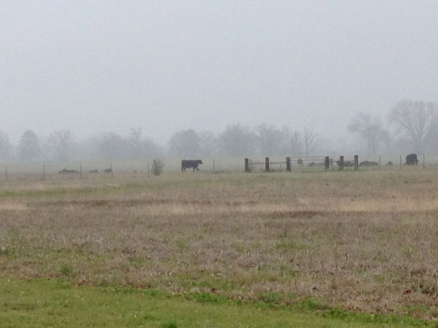 Cows of the misty pasture.(Get your own picture, this one's mine and you don't have permission to use it. Try Wikicommons)