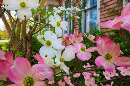 Festive Dogwoods. White and pink - showoffs! (image:dogwoodbloomwatch:blogspot)