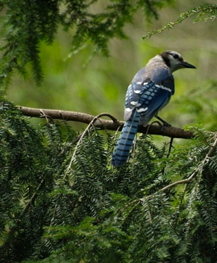 American Bluejay /Yanni,Flickr/ Commons.wikimedia.org