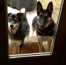 The German and Molly Malamute at the door. No permissions granted. All rights reserved. Copyright