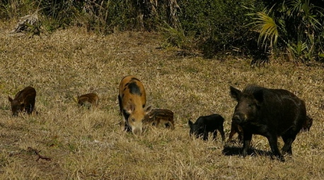 WIld hogs.feral boars.US Fish and WIldlife Service.Steve Hillebrand/Commons.wikimedia.org)