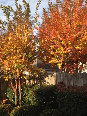 crepe myrtles in fall. All rights reserved. No permissions granted. Copyrighte