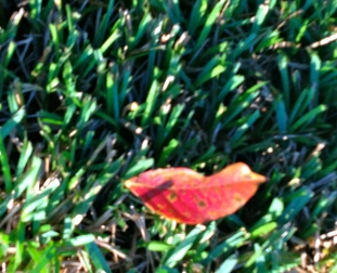 red leaf in grass - all rights reserved, no permissions granted, copyrighted