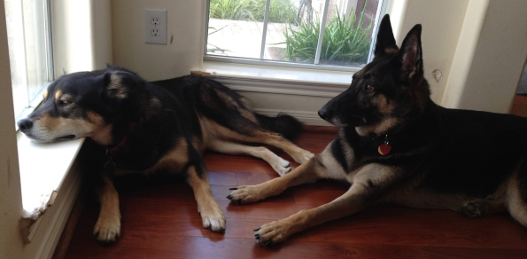 all rights reserved. Copyrighted. No permissions granted. German Shepherd