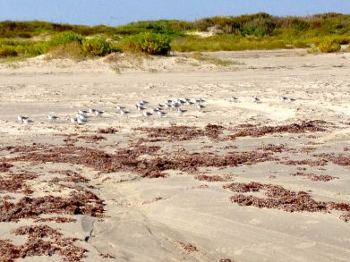Flock of shore birds along Galveston's sand dunes. all rights reserved. No permission granted. Copyrighted
