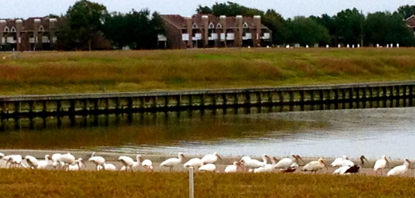 All rights reserved. Egret flock munching on esplanade. Copy righted. No permissions granted