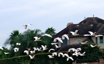 No permissions granted. FLying egret flock. All rights reserved. Copy righted