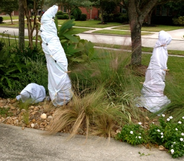 Three wrapped up palms looking like the Three Wise Men. All rights reserved. No permissions granted. Copyrighted