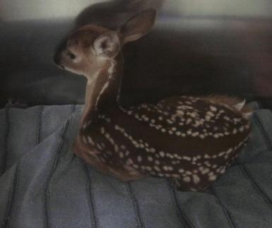 orphan deer, fawn