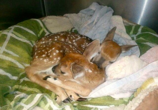 Orphan fawns. deer in a dog bed