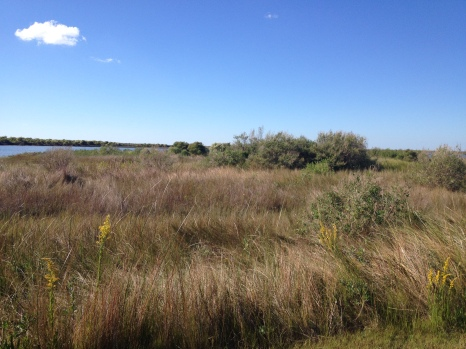 La Salle landed about 100 miles south of here. But the laAll rights reserved. Copy righted. No permissions granted.Native grasses, scrubby trees, brackish water, and mosquitoes. (This is west end of Galveston Island)