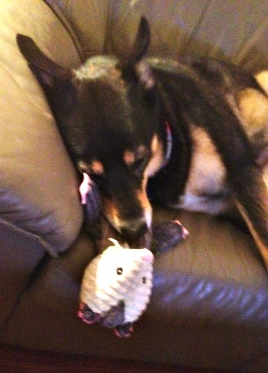 dog with toy. all rights reserved. no permissions granted. copyrighted