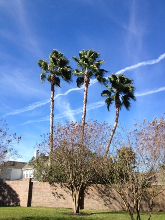 3 palms. No permissions granted. Copyrighted. All rights reserved.