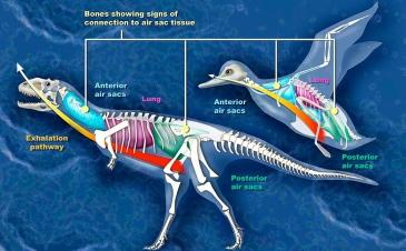 Comparison of dinosaur and bird. ( National Science Foundation:Zina Deretsky/Commons.wikimedia.org)