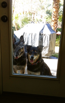 Dogs looking through mud smeared door. No permissions granted. All rights reserved. Copyrighted