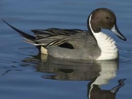 Pintail duck on water. by Jukka Jantuen/VIREO/Audubon society
