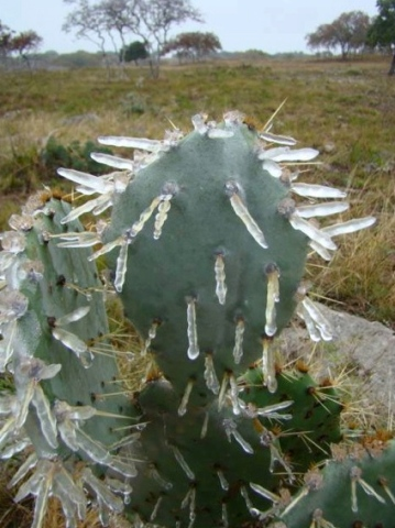 Prickly pear cactus encased in ice. (image: Fox26 Michelle Merhar FB page/Texas Hill Country photo)