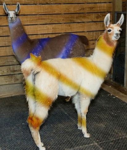 blue and yellow striped llamas. Houston zoo llamas. facebook- houstonzoo:photo