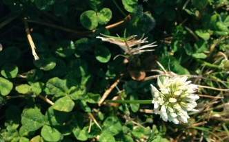 white clover bloom. All rights reserved. NO permissions granted. Copyrighted