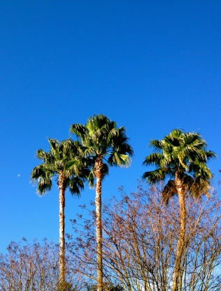 Blue sky. palms.all rights reserved. No permissions granted copyrighted
