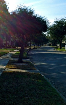 Oak trees lining a street. All rights reserved. Copy righted. NO permissions granted