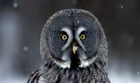 face of adult owl. (PBS.org/wnet.nature series. Owl Power)