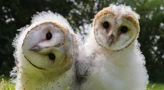 baby owls.Owlets. http: video.pbs.vi:wnet:nature:Owl Power)
