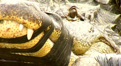 400 pound gator/ABC13.com/ image by KBMT