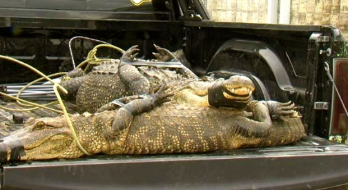 alligator pair in truck. Image by  KBMT/abc.13/pets)
