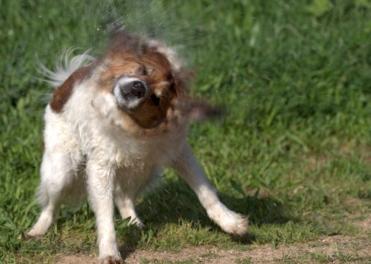 Dog shaking off water.(Mickey Samuni-Blank/Commons.wikimedia.org)