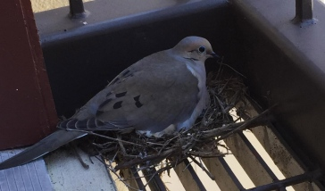 Dove building nest on a balcony (All rights reserved. NO permissions granted. Copyrighted
