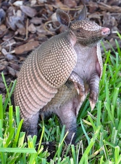 armadillo standing up in grass./VladLazenko/Commons.wikimedia.org