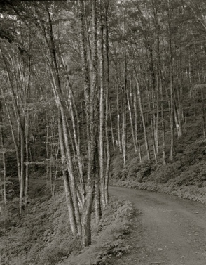 Birch trees in Great Smoky Mtn. Park /Haas, fed.employee,Nat.Park Serv./LOC/USPD/Commons.wikimedia.org)