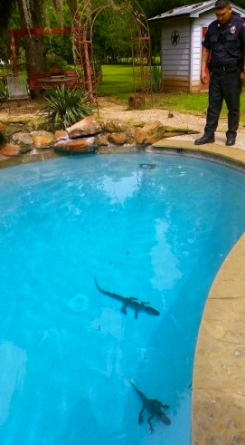 two small alligators swimming in a lovely pool in Fulshear, TX/ pool party!/Click2houston.com