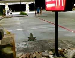 gator leaving McDonald's (khou.com)