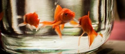 Some really alert goldfish staring (Ali Rezvani/Commons.wikimedia.org)