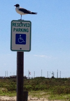 Sea gull perched on Handicap parking sign on Galveston beach (NO permissions granted. ALL rights reserved. Copyrighted