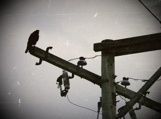 Bird on telephone wire.Looks like Alfred Hitchcock's BIrds/Wayne Wilkinson/Flickr:Commonw.wikimedia.org)