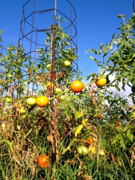Farm tomatoes. All rights reserved No permissions granted. Copyrighted