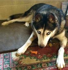 Phoebe the Cyber Crime fighting dog recouperating./ gofundme)