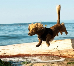 Dachshund leaping over log/Dan Bennett/Flickr/Commons.wikimedia.org